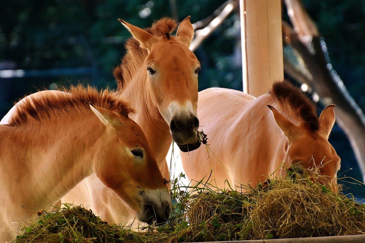 Maîtrisez l'alimentation chez les chevaux.